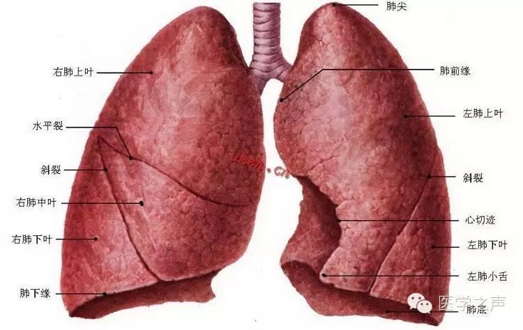 看一张肺的解剖图,上面病变在哪叶?-每天学看一张X线片 第27期